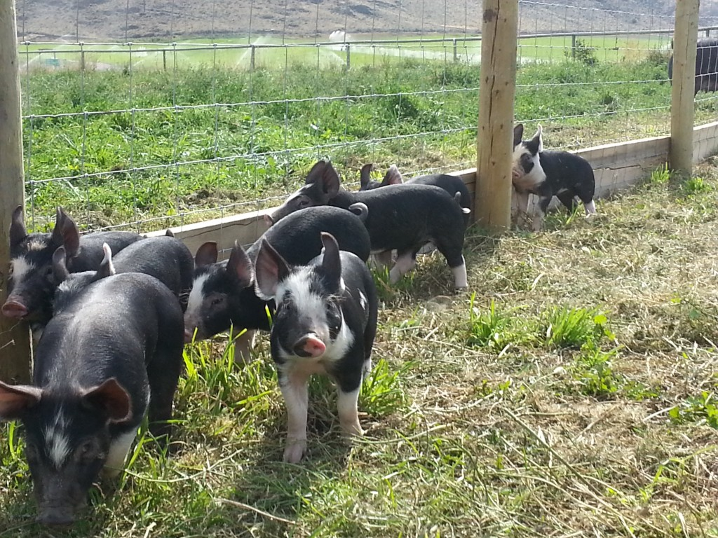 Hoggard - Free Range piglets